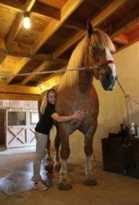 Världens största häst Big Jake