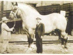 Världens största häst någonsin, Sampson